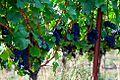 Vineyard (Yamhill County, Oregon scenic images) (yamDA0054).jpg