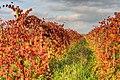 Vineyard - Fellegara, Scandiano (RE) Italy - December 2, 2012 - panoramio.jpg