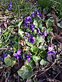 Viola odorata sl21.jpg