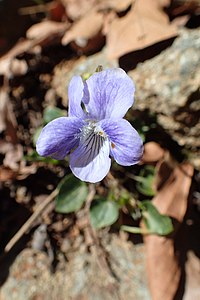 Viola sieheana kz7.jpg