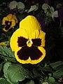 Viola tricolor var. hortensis, garden pansy from Nilgiris (4).jpg