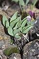 Viola trinervata 7809.JPG