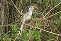 Vogels met grote snavels komen veel voor in Gambia.jpg