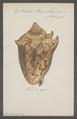 Voluta vespertilio - - Print - Iconographia Zoologica - Special Collections University of Amsterdam - UBAINV0274 087 04 0008.tif