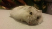 Winter white dwarf hamster - Wikipedia