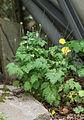 Wald-Scheinmohn (Meconopsis cambrica) (14511426729).jpg