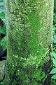 Washingtonia filifera 0zz.jpg