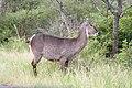 Waterbuck (2271532555).jpg