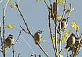 Waxwings - uncommon winter visitors (2005) - geograph.org.uk - 595354.jpg