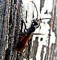 Wegwespe Arachnospila 001.jpg