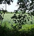 Weizenfeld - panoramio (1).jpg