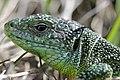 Western Green Lizard - Lacerta bilineata (16391416553).jpg