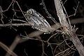 Western Screech-Owl (Megascops kennicottii) (3399903826).jpg