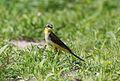 Western yellow wagtail, Motacilla flava, Chobe National Park, Botswana. (32321525815).jpg