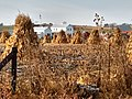 Weston Amish corn shocks.jpg