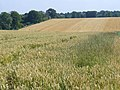 Wheat Field by Goldstone Farm - geograph.org.uk - 897378.jpg