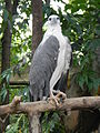 White-bellied Sea Eagle - Haliaeetus leucogaster - Ninoy Aquino Parks & Wildlife Center 17.jpg