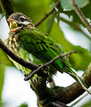 White-cheeked Barbet by N.A. Nazeer.jpg