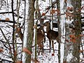 White-tailed Deer-27527-1.jpg
