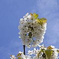 White Cherry Blossom 1 (4565365429).jpg