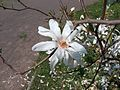 White Star Magnolia Flower on a tree.jpg