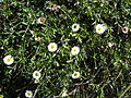 White flowered bush Fortuna CA.JPG