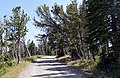 Whitebark pine trees (20364358998).jpg