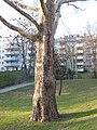 Wiener Naturdenkmal 457 - Morgenländische Platane (Döbling) i.JPG