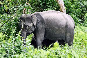 Nameri National Park - Wild Elephant at nameri National Park