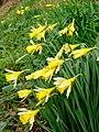 Wild daffodil, Narcissus pseudonarcissus - geograph.org.uk - 1191665.jpg
