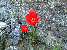 Wild flower Alvan Mountain 3.jpg