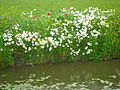 Wild flowers on ditch side (2).JPG