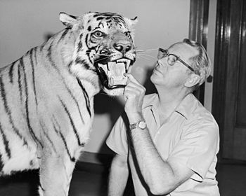 side portrait of bespectacled Wilmer W. Tanner putting his hand in a stuffed tiger's mouth and peering at it's face.  The tiger's mouth is open