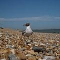 Winchelsea Beach - geograph.org.uk - 951820.jpg