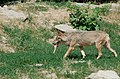 Wolf at the Wildpark (19564607119).jpg