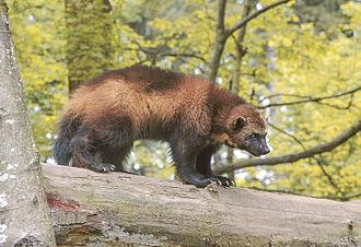Wolverine - Image: Wolverine 01