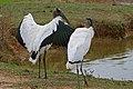 Wood Storks (Mycteria americana) (29025896561).jpg