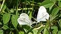 Wood Whites. (Leptidea sinapis) getting aquainted. (42257499511).jpg