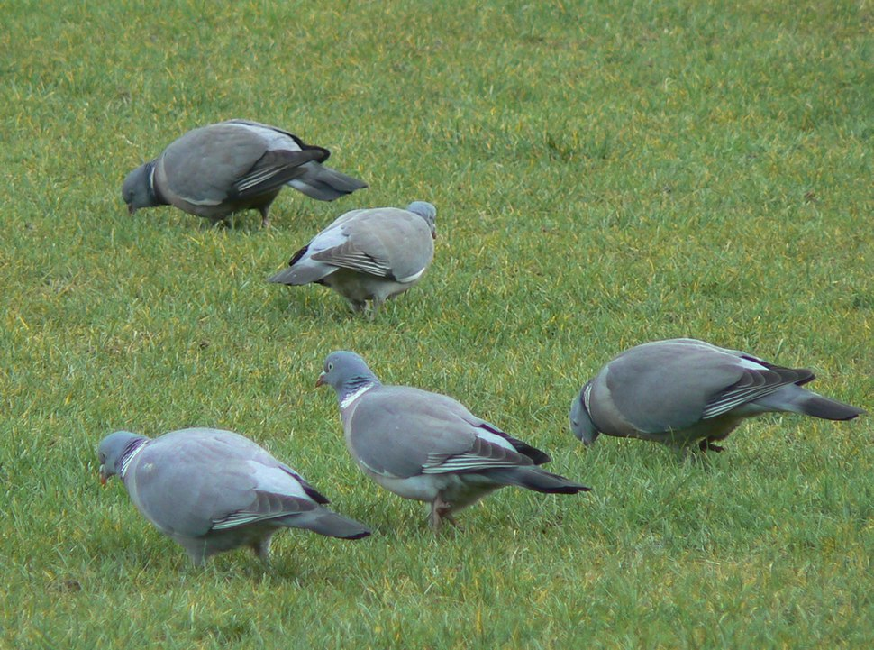 Wood pigeon group