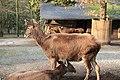 Wuppertal - Zoo im Winter1112 - Przewalskium albirostris 03 ies.jpg