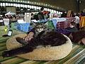 Wystawa kotów 242.JPG