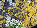 Xanthoria parietina nombreux thalles.jpg