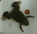 Xenopus laevis male.png