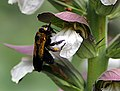Xylocpa violacea.jpg