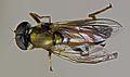 Xylota segnis (10982129124).jpg