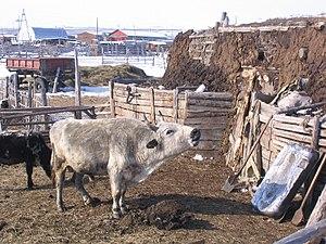 Yakutian cattle - A Yakutian bull