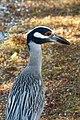 Yellow-crowned Night-Heron - Nyctanassa violacea (32856751593).jpg