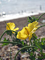 Yellow Horned Poppy (15192987400).jpg
