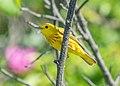 Yellow warbler male on Sandy Hook (70045).jpg
