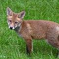 Young Fox 2 (7236338246).jpg